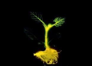 plantas-brillan-oscuridad
