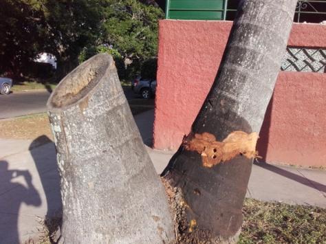 palmeras-arrasadas