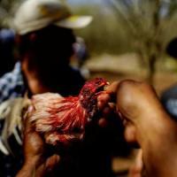 Peleas de gallos en Cuba: entre sitios clandestinos y vallas estatales