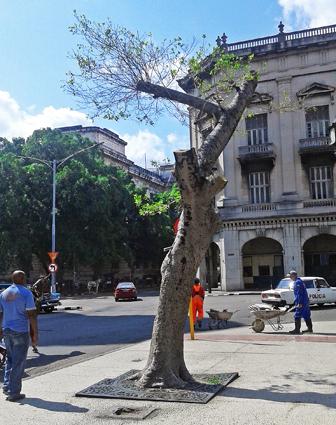 árbol podado