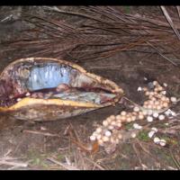 Venta de carne de caguama en Cuba