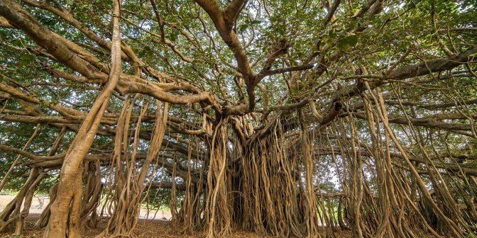 Thimmamma Marrimanu: bosque indio de 19000 metros cuadrados formado por un solo árbol