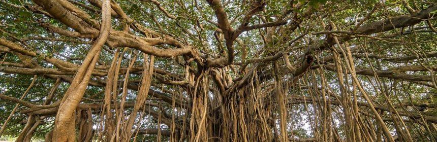 Thimmamma Marrimanu: bosque indio de 19000 metros cuadrados formado ...