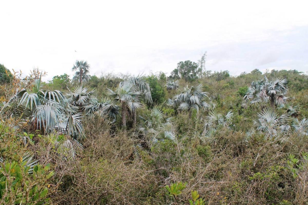 Palma azul, nueva especie de planta reportada en Sancti Spíritus