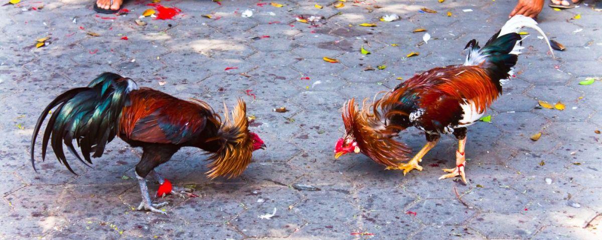 Peleas de gallos en los medios cubanos